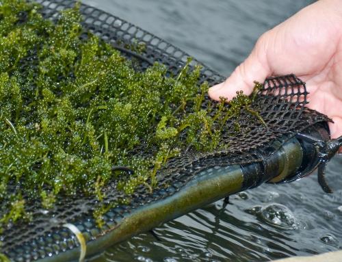 糸満市の具志堅さんが養殖する「海ぶどう」