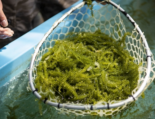 沖縄産直市場の海ぶどう|質の高い海ぶどうを育てられる秘密とは